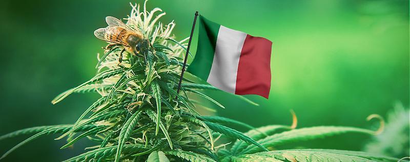 cannabis legale, canapa legale e hashish a basso thc.jpg