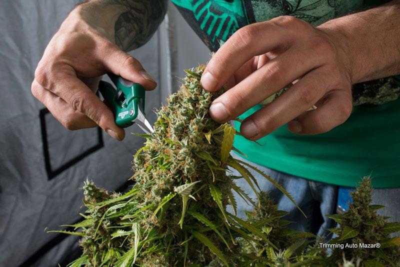 Taglio, essiccazione e stagionatura della marijuana