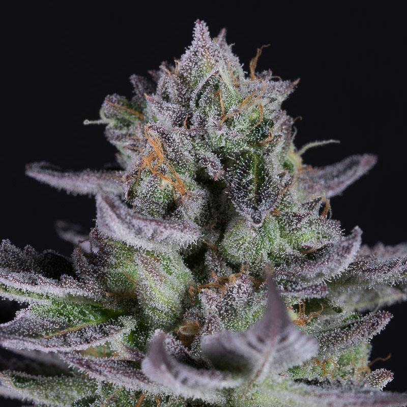 Il Colore Viola Della Blueberry Weed