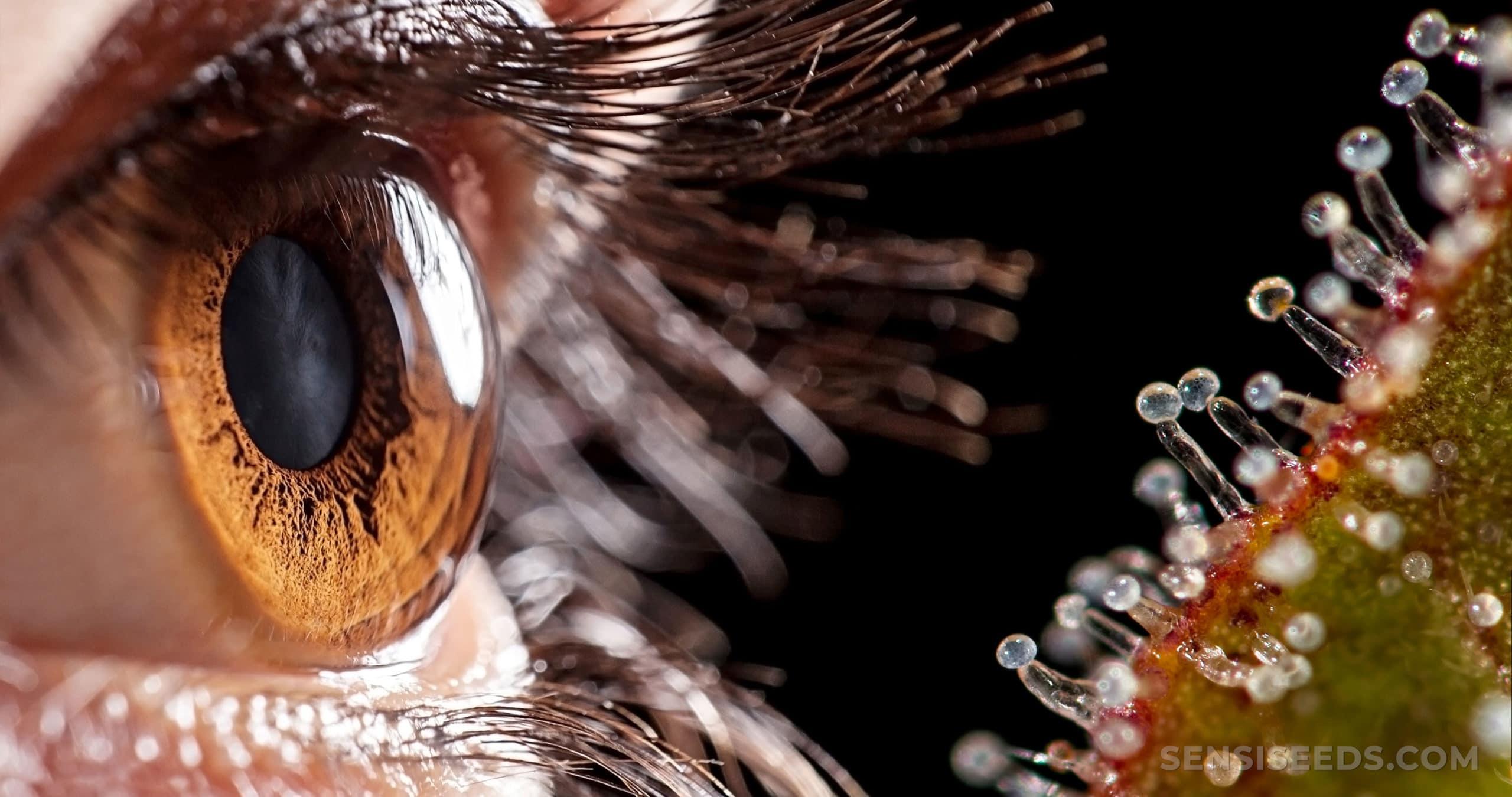 Cbd E Pressione Oculare