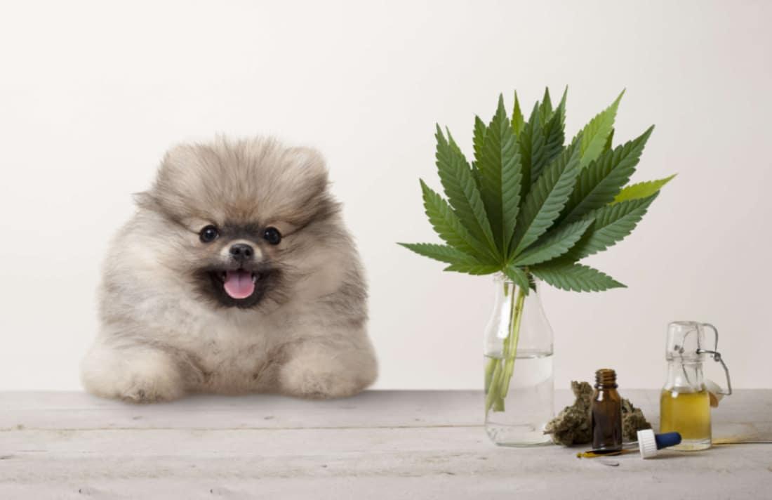 Olio Di Cannabis Per Le Allergie Agli Animali Domestici Tutto Ciò Che Devi Sapere
