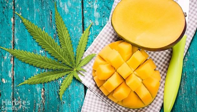 Mango Haze Mango E Marijuana Una Miscela Magica