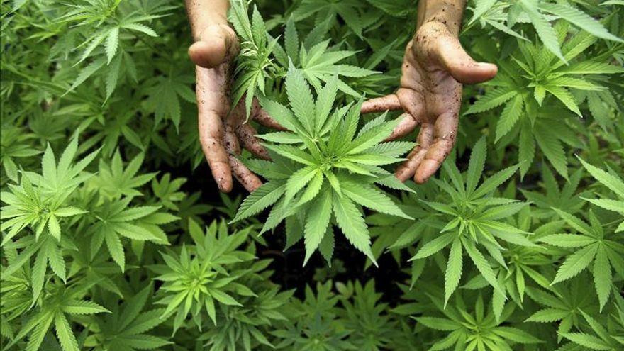 Cbd La Nuova Marijuana Legale Che Va Di Moda