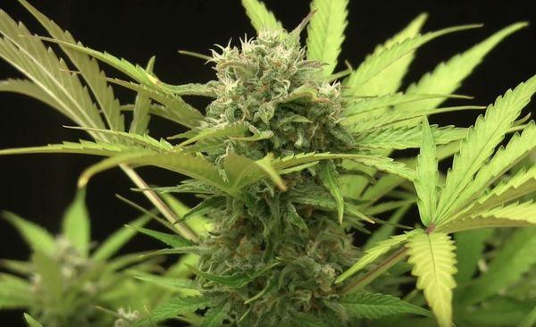 Cannabis Blue Cheese La Pianta E Il Suo Utilizzo