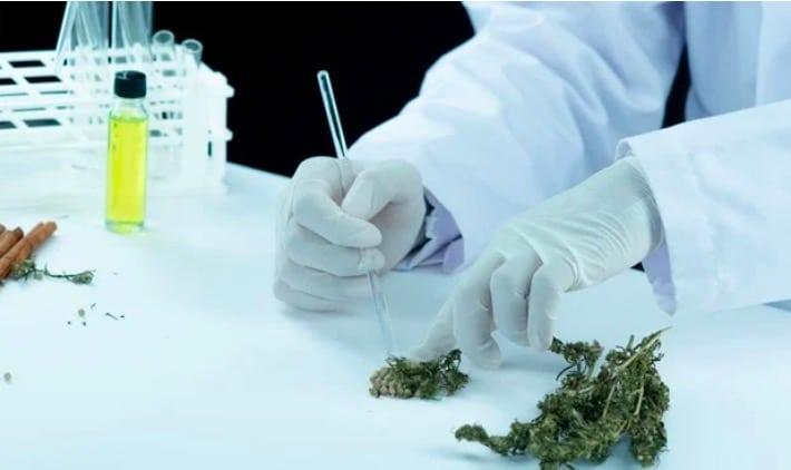 Marijuana Legale E Coronavirus